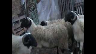 Πρόβατα γαλακτοπαραγωγής