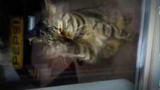 my cat doing the harlem shake ...