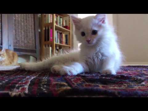 Introducing Bindi, 2.5 lb Flame-Point Siamese Mix kitten