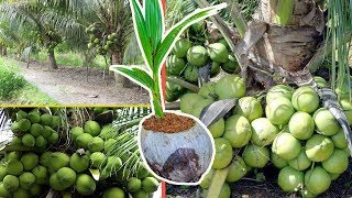 How to Grow Coconut Tree Fast From Seed | Amazing New Agriculture Technology
