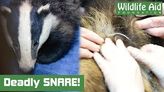 Badger freed from snare - Animal Rescue