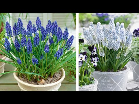 How To Plant Muscari In Containers: Spring Garden Guide