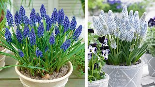 How to Plant Muscari: Gardening tutorial with Jeff Turner
