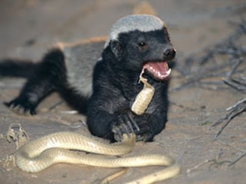 The Honey Badgers Don't give a F