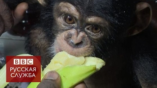Шимпанзе на продажу  расследование Би би си