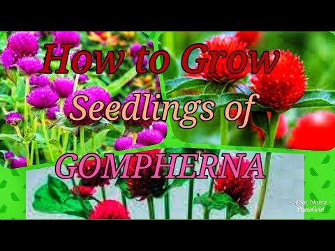 How To Grow Gompherna Flowering Plants From Seeds