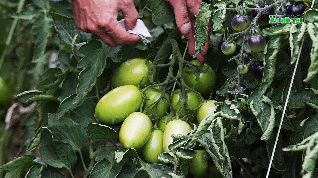 Как сращивать два стебля помидор на одном корне