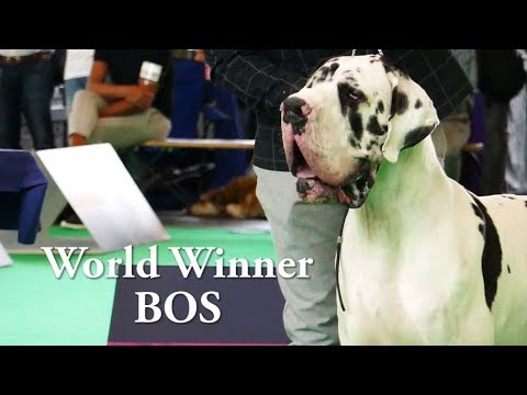 World Dog Show 2018 Great Danes Champion Class Harle/Black