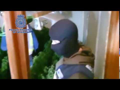Desmantelan 11 plantaciones de marihuana del mismo clan en Cartagena