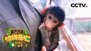 [正大综艺·动物来啦]阿拉伯狒狒几岁长出象征雄性的鬃毛| CCTV