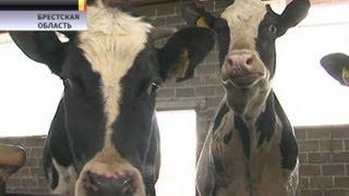 Живую корову забрасывают в грузовик из бульдозера. Жуткое видео