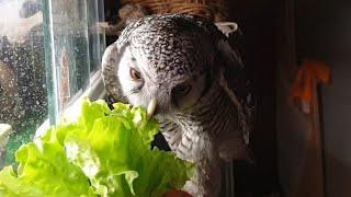 Сову Иву бесит салат