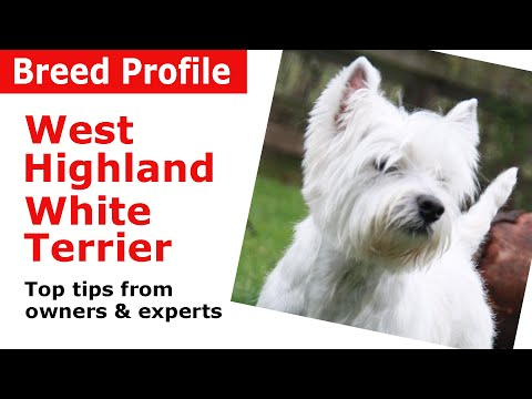 West Highland White Terrier Dog Breed Guide