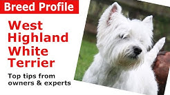 "West Highland White Terrier ""Westie"" Dog Breed Guide"
