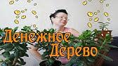 Догляд за фікусом в домашніх умовах – Зелена ділянка - YouTube 7c09698219fe2