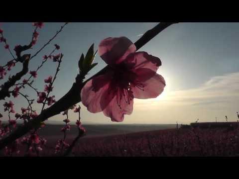 Arriba la primavera als fruiters d'Aitona