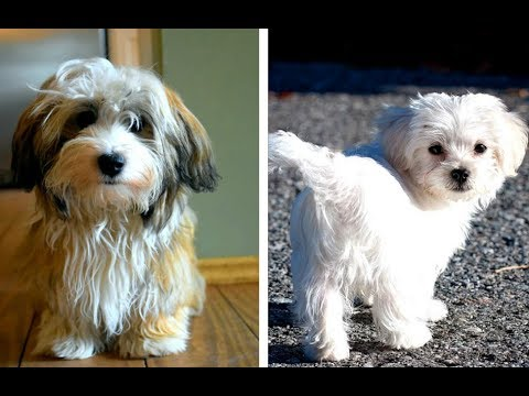 Havanese vs Maltese Puppies and Full Grown Dogs - Similarities and Differences