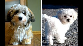 Havanese vs Maltese Puppies and Full Grown Dogs  Similarities and Differences