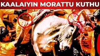 EXCLUSIVE : Madurai Avaniyapuram Jallikattu !!