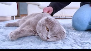 Scottish Fold Cat is getting his daily brushing