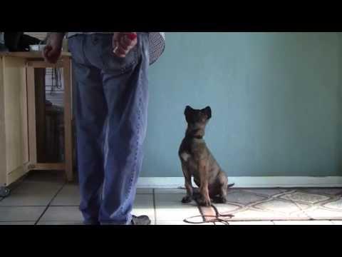 Clicker training a 13 week  old Dutch Shepherd X Belgian Malinois Puppy