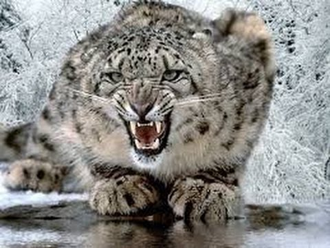 Silent Roar The Snow Leopard   National Geographic Documenta