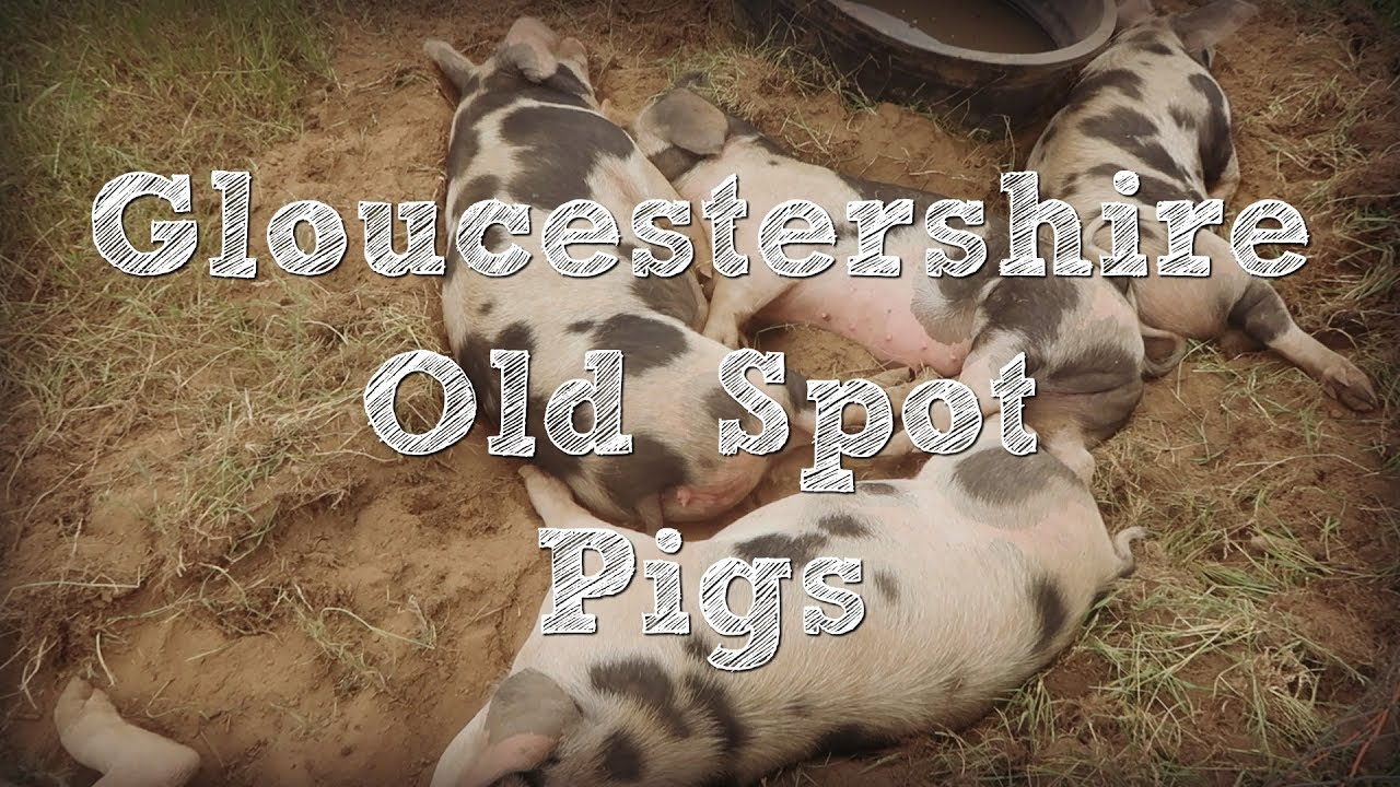 Gloucestershire Old Spot Pigs (along with Tamworth, Berkshire, and Red  Wattle Pigs)