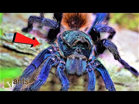 World's Most Beautiful Tarantula