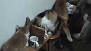 Cats in Tokyo, trined to eat sitting politely at their own tables i...