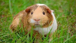Как улучшить состояние кожи и шерсти морских свинок весной?