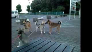 紀州犬(胡麻)散歩後の休憩中に野犬の来訪です