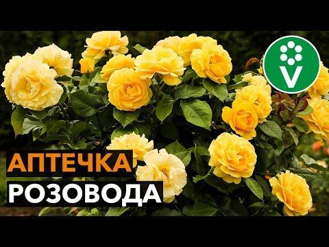 Как вырастить здоровые и красивые розы? Советы эксперта