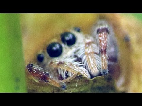Cute Jumping Spider Shows Off His Little Leaf House