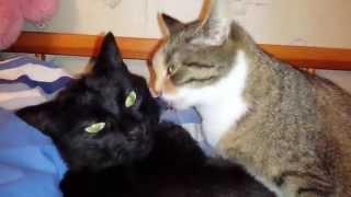 Настоящая любовь кошки к коту.