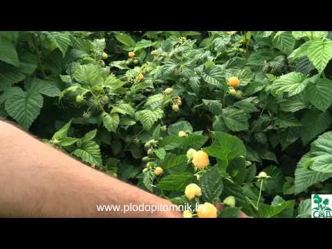 Сорта малины Жёлтый гигант и Беглянка