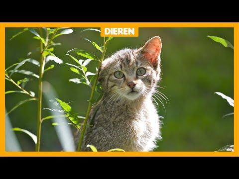 De wilde kat is terug in Nederland!