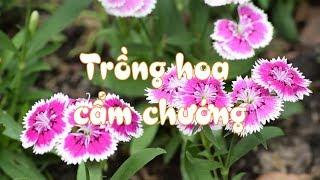 Trồng hoa cẩm chướng- phần 1 - giới thiệu chung    Vườn ươm Lina