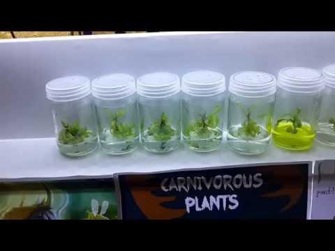 หม้อข้าวหม้อแกงลิงและพืชกินแมลงเพาะเลี้ยงเนื้อเยื่อtropical pitcher plants  tissue culture