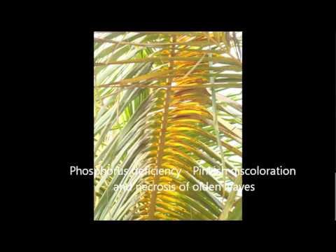 Nitrogen, Phosphorus, Pottasium and Sulpher deficiencies in Coconut in TNAU