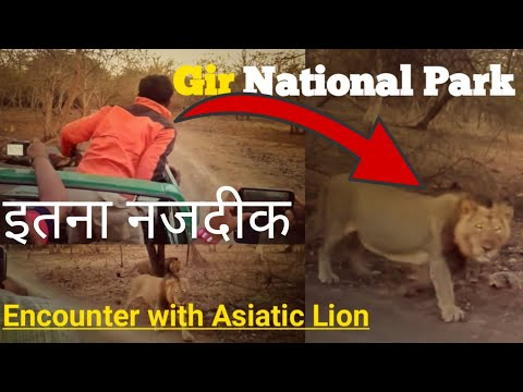 Gir national park encounter with big cats