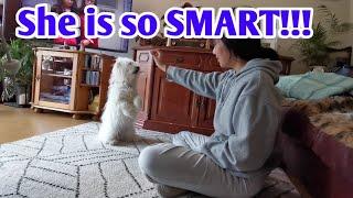 Why we need a Maltese Dog/How Smart our Maltese dog./HayLangga