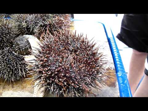 Kina - New Zealand sea urchin