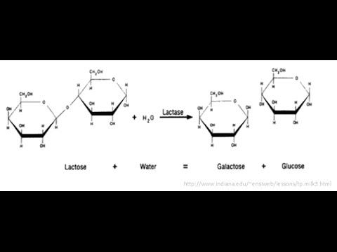 Lactase Reaction - YouTube