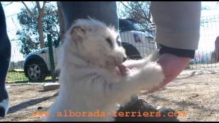 Cachorro Westy Joselito Criadero Alborada, Joselito, Westie Puppy Alborada Kennel