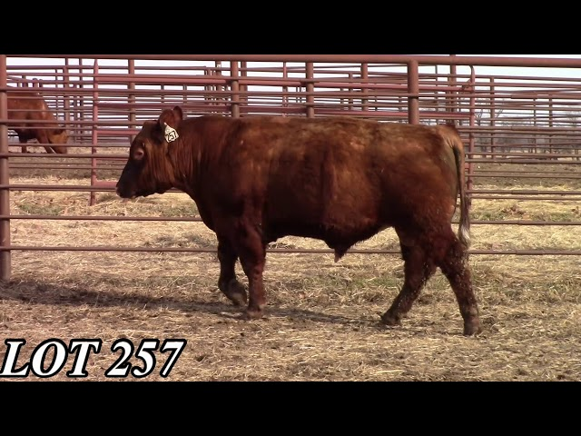 Mead Angus Farms Lot 257