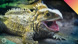 Tuatara Time! – Face To Face With A Living Fossil! (ft. John Green)
