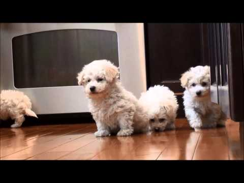 Bichon Frise puppies for sale February 25, 2015