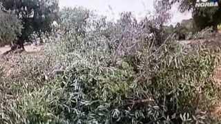 XYLELLA FASTIDIOSA - Batterio killer degli ulivi del Salento