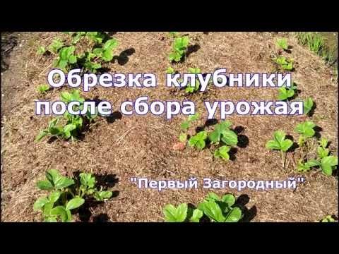 Обрезка клубники и уход за ней после сбора урожая