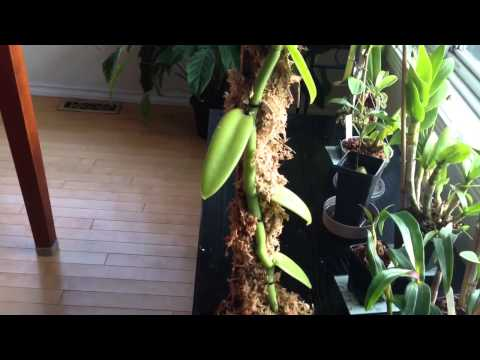 Orchid Care: Growing Vanilla Orchids : My care and culture tips in the home and Greenhouse